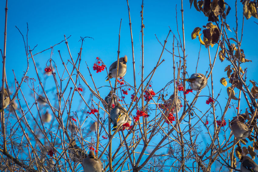 Wintertime Animal Animal Themes Animal Wildlife Animals In The Wild Beauty In Nature Bird Blue Branch Day Food Group Of Animals Low Angle View Nature No People Outdoors Perching Plant Sky Tree Vertebrate Waxwing Waxwings