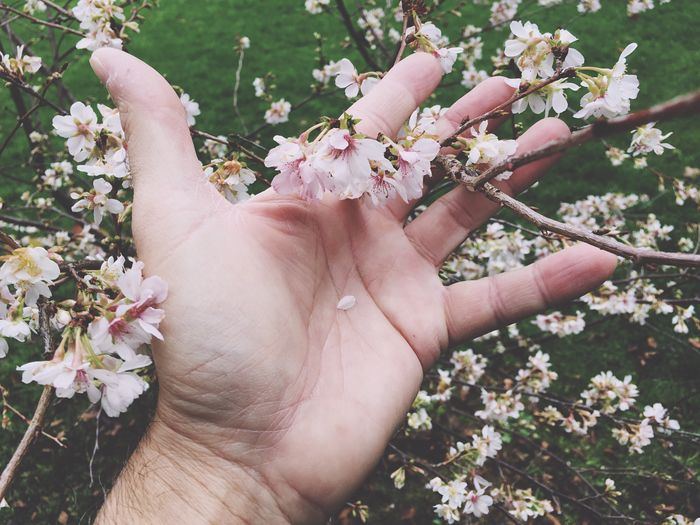 Close-up of cropped hand holding cherry blossoms on twig