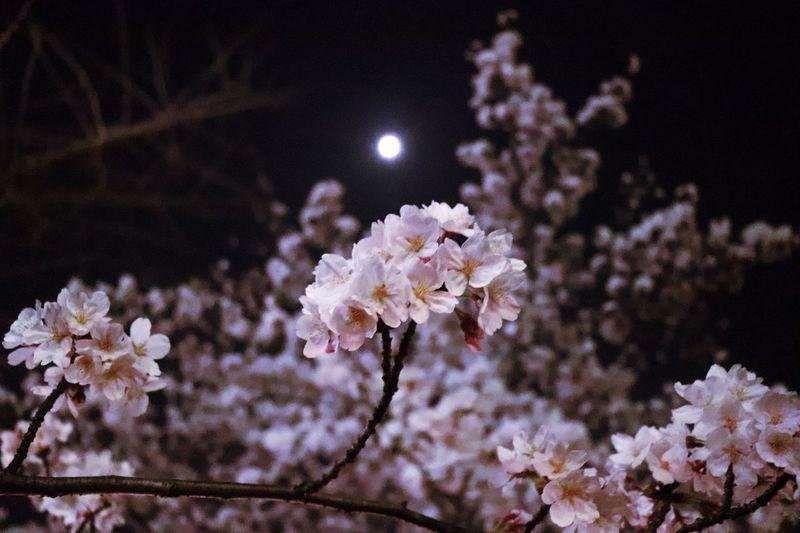 夜桜狩—Chasing the