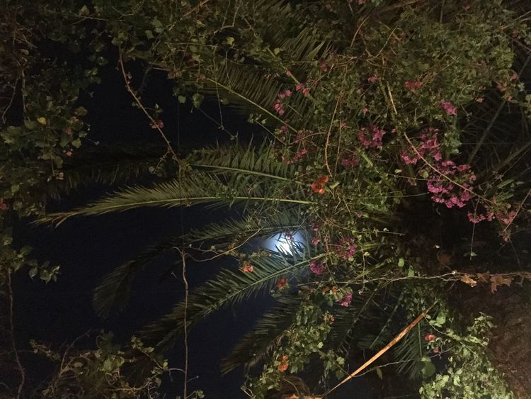 Bright Moon Moon Through The Trees Palm Trees Night Time Showing Imperfection