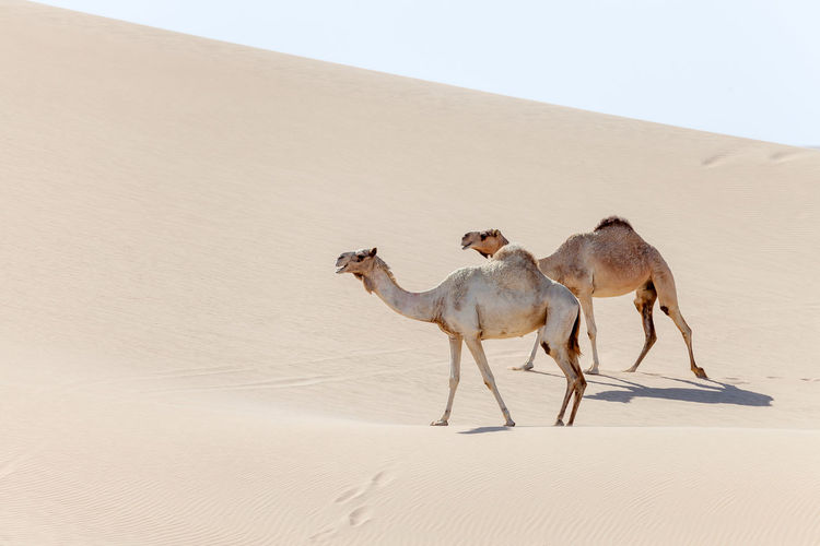 Two middle eastern camels walking in the desert