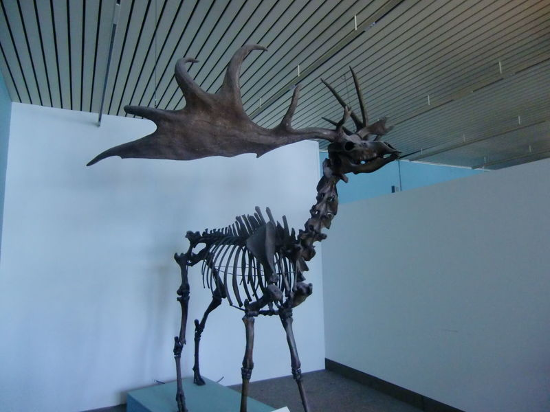 No People Indoors  Day Moose Skeleton Museum Bremen History Animal Germany Eastfrisia