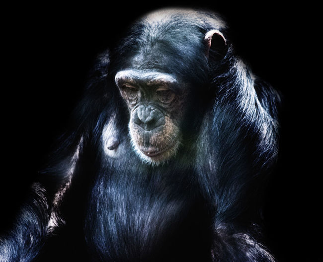 50+ Chimpanzee Pictures HD | Download Authentic Images on EyeEm