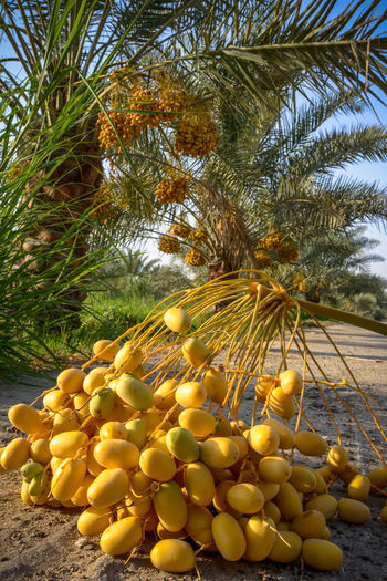 dates and palm trees in farm at doha qatar Farm Nature Palm Abundance Close-up Coconut Palm Tree Dates Day Food Food And Drink Freshness Fruit Growth Healthy Eating Land Nature No People Outdoors Palm Tree Plant Ripe Sunlight Tree Vegetable Wellbeing Yellow