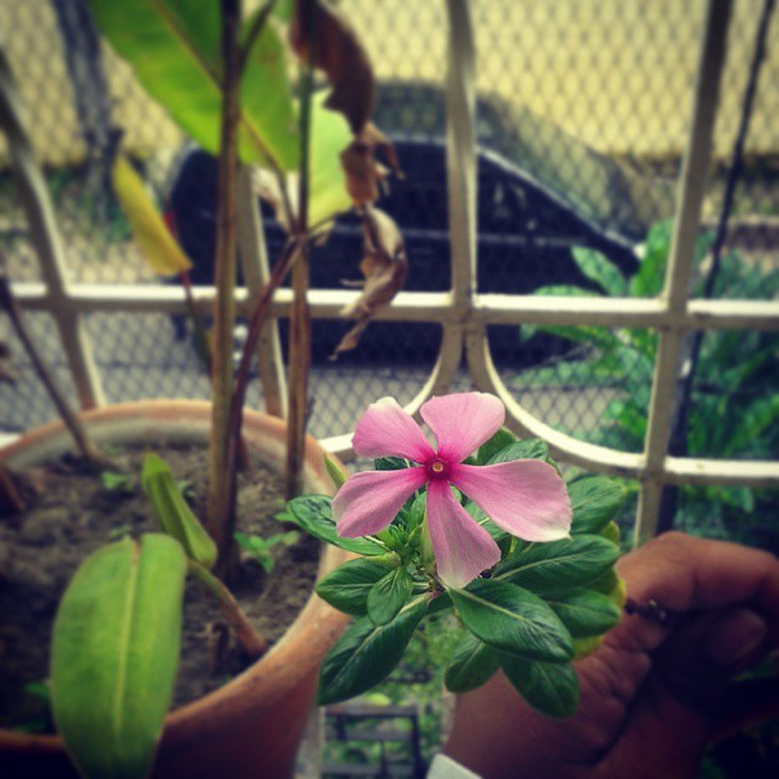 flower, leaf, petal, growth, fragility, plant, freshness, flower head, focus on foreground, beauty in nature, close-up, nature, pink color, potted plant, blooming, single flower, day, outdoors, stem, park - man made space