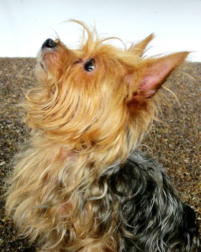 Puppy Love Puppy Terrier Pets Puppyeyes Yorkie Yorkshire Terrier Cute Pets Pets Corner Pet Photography
