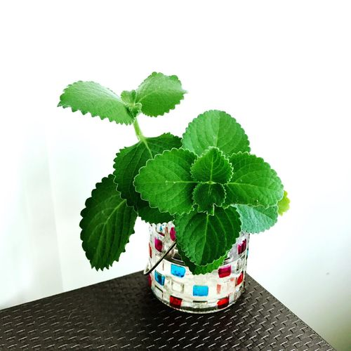 Growth Leaf Plant Freshness Green Color Mint Leaf - Culinary Nature 到手香 Green Container Gardening