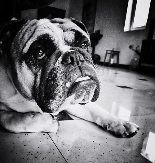 It's a dogs life... B&w Boxer Dogs One Animal Dog Canine Pets Domestic Home Interior Domestic Animals Indoors  Looking At Camera Portrait Close-up Animal Mouth Focus On Foreground