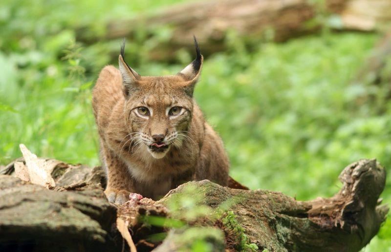 Lynx One Animal