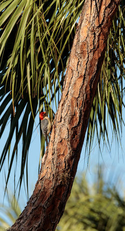 Red-bellied woodpecker Melanerpes carolinus pecks at a palm tree in Naples, Florida Melanerpes Carolinus Pecking Red Head Red-bellied Woodpecker Animal Animal Themes Animal Wildlife Animals In The Wild Bird Day Low Angle View Nature No People One Animal Outdoors Plant Tree Tree Trunk Trunk Vertebrate Woodpecker Woodpeckers