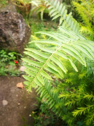 Green Color Nature Leaf Plant Growth Fern Day Close-up Outdoors Focus On Foreground Beauty In Nature Freshness