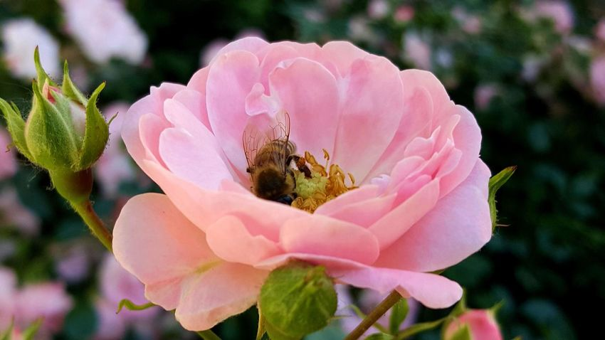 EyeEm Nature Lover Bee And Rose Flower Head Rosé Bee Flower Petal Nature Pink Color Rose Pink Beauty Plant Fragility Focus On Foreground Outdoors Day Sunlight Pollen Bee 🐝 Beauty In Nature Rose - Flower Growth Freshness No People No Filter