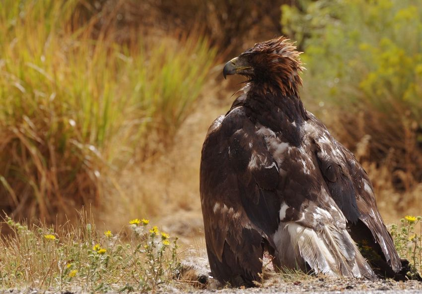 Golden eagle Eagle Golden Wyoming Wyoming Wildlife Wyoming Landscape Animal Themes Animal Animals In The Wild Animal Wildlife One Animal Vertebrate Bird No People Nature Day Grass Focus On Foreground Outdoors Sunlight Bird Of Prey Land Plant Full Length Standing
