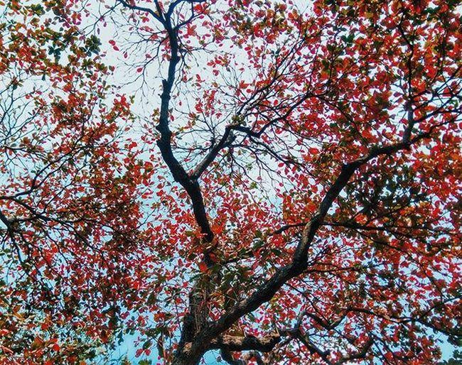 หลงรักจุฬาฯตอนนี้มาก ใบไม้สีแดงร่วงหล่นลงเต็มพื้น 😍 Nunnawanderlust