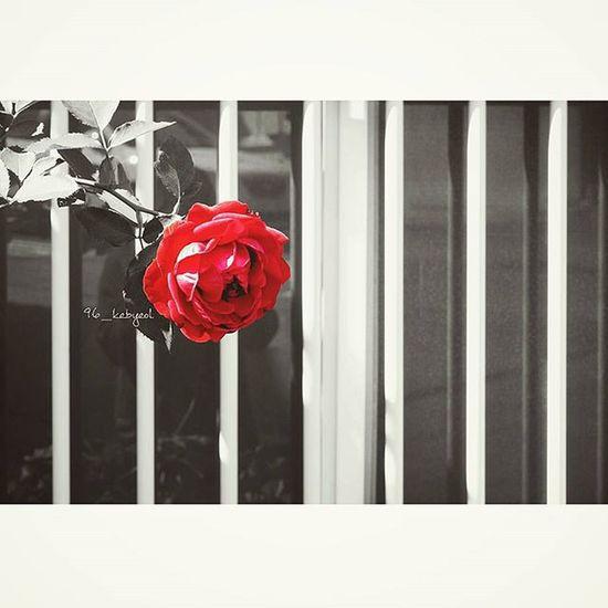 151008 Instasize 인스타 출사 맑음 장미 한송이 은별포토그래퍼 빨강 Red 고독 Pics Photo 부산 울산 96_kebyeol