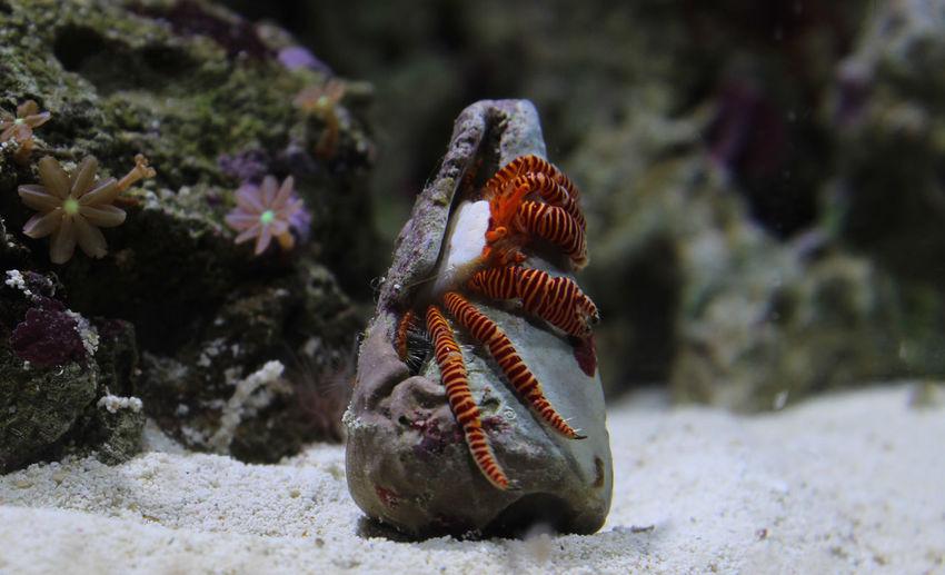 Haloween hermit crab