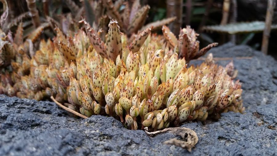 Maximum Closeness Little Croc Plant Plants volcanic