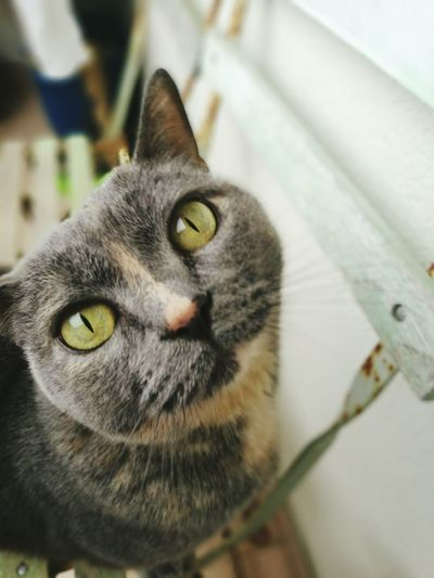 Domestic Cat Pets Domestic Animals Looking At Camera One Animal Mammal Portrait Animal Themes No People Indoors  Feline Close-up Yellow Eyes Day