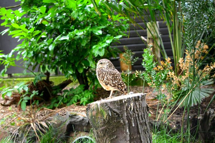 One Animal Animal Wildlife Outdoors Animals In The Wild Nature Perching Nature Bird Owl Owls Owllife Owl On Log