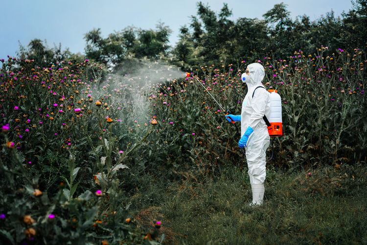 Person in protective suit spraying herbicide on thistle plants