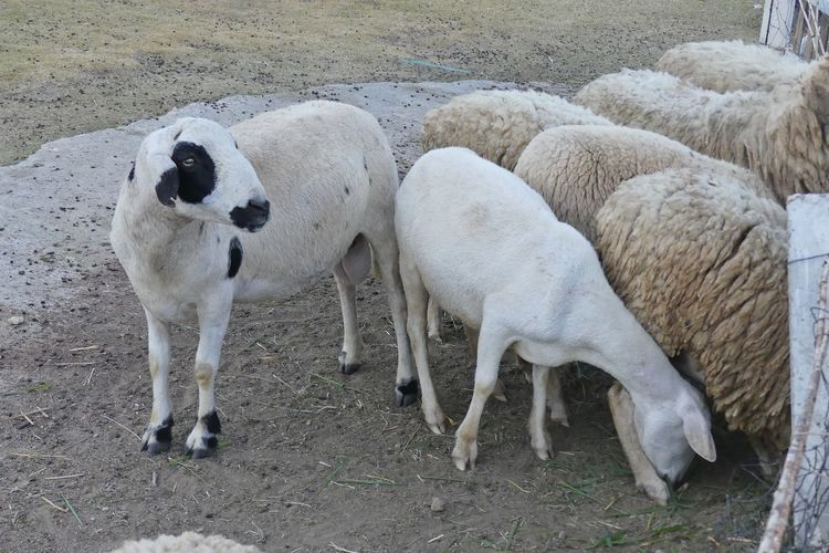 Sheeps Farm Animal Animal Photography Animal Themes Day Domestic Domestic Animals Land Mammal Nature No People Outdoors Pets Sheep Sheep Farm Sheeps Sheepskin