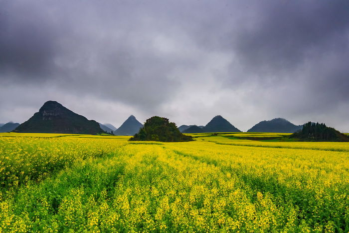 Canola field, rapeseed flower field with the mist in Luoping, China Luoping Rain Rapeseed Field Aerial View Beauty In Nature Canola Canola Field Cloud - Sky Day Field Fog Hill Landscape Mist Mountain Mountain Range Nature No People Outdoors Rapeseed Oil Rapeseed Yellow Tadaa Scenics Sky Tourism Tranquil Scene Tranquility Village Yellow