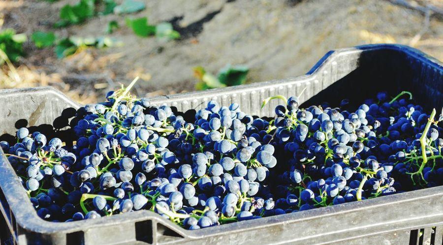 Wine Grapes Harvest Shiraz🍷