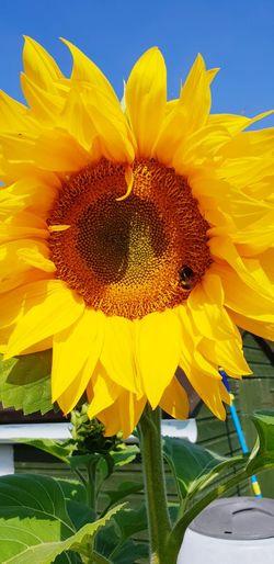 Flower Head Flower Yellow Sunflower Petal Sky Close-up Plant In Bloom