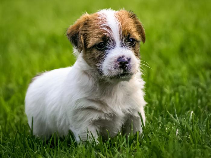 Portrait of puppy on grassy field