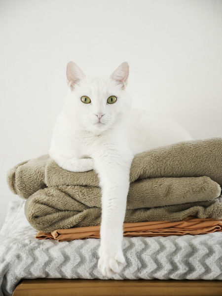 Cat Cat Life Comfortable Comfy  Cute Cat Day Domestic Cat Feline Feline Portraits Furry Friends No People One Animal Paws And Purrs Pet Relax Staring Staring At Me Vertical White Cat