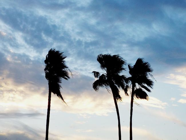Palm Trees Palms Palms And Clouds Minimalism Cloudy Skies Calm South Texas South Texas Sky Texas Rio Grande Valley Windy Palms Palm Silhouette Summer Exploratorium This Is Latin America