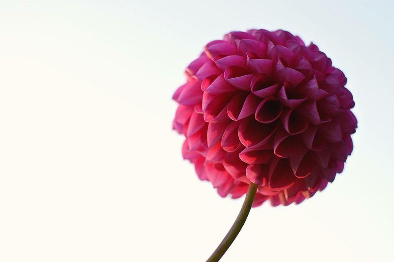 daria flower Daria Flower Green One Single Wild Pink Sky Art