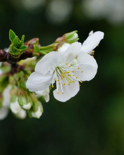 Flower Nature White Color Beauty In Nature Blossom Flower Head Growth Close-up Freshness Springtime Almond Tree Plant Leaf No People Fragility Tree Day Outdoors Sony A7rm2 Sony Lover Fe9028macro Sonyphotography Macro Photography Macro_collection Macro Flowers