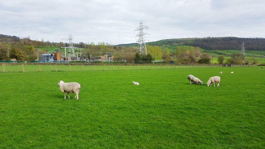 Sheep on grassy landscape against sky