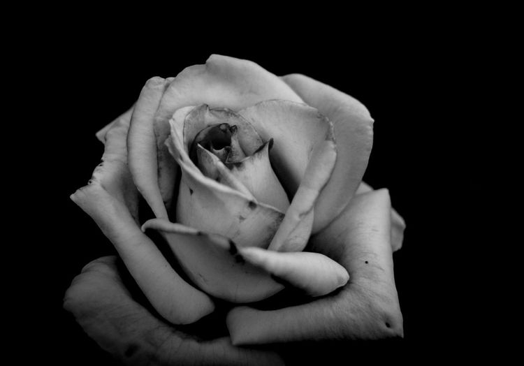 終焉の前に… M.zuiko To The Flower World Of Monochrome Olympus Olympus Om-d E-m10 EyeEm Black&white Monochrome Blackandwhite Negative Withered  Rosé Rose - Flower Rose🌹 Eye4photography  EyeEm Selects Flower Head Flower Black Background Rose - Flower Close-up
