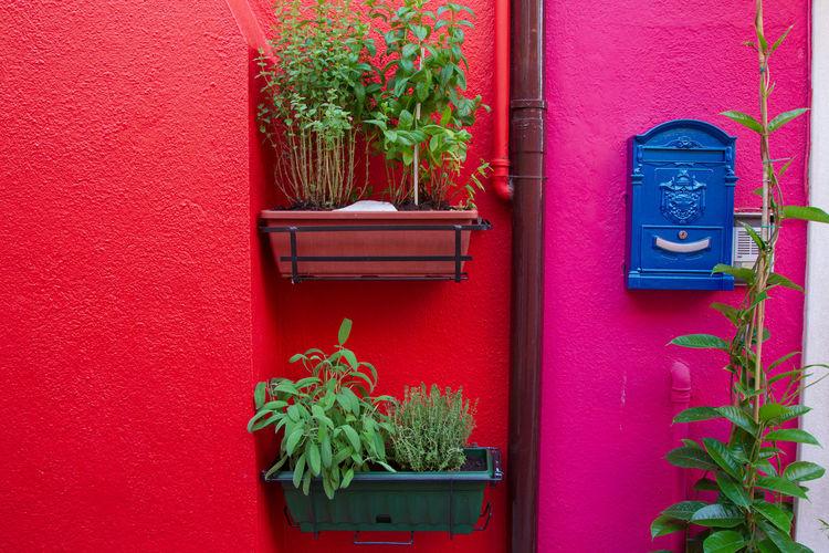 Burano Plant