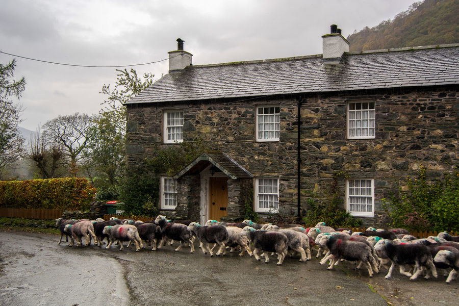 Borrowdale Valley Flock Herdwick Herdwick Flock Herdwick Sheep Stonethwaite Borrowdale Flock Of Sheep Hill Farming Sheep Sheep Farm Sheep Ranch Sheeps Sheep🐑 Stonethwaite