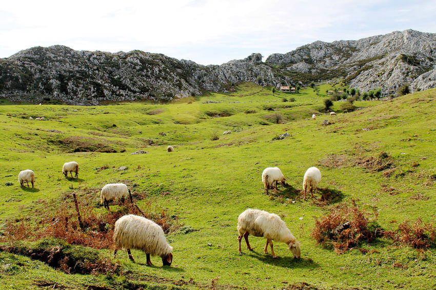 Animal Themes Day Grazing Animals Grazing Sheep Green Color Hills, Mountains, Sky, Clouds, Sun, River, Limpid, Blue, Earth Landscape Mountain House Nature Nature Photography Nature_collection Sheep Sheeps Sky