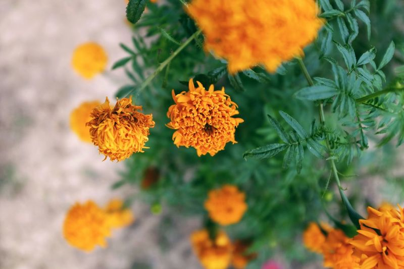 Close-up of orange marigold blooming outdoors