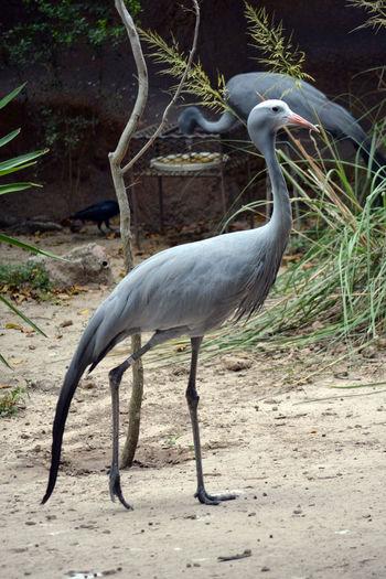 Animal Themes Animal Wildlife Bird Day Nature No People One Animal Outdoors Beak Animals In The Wild Crane - Bird