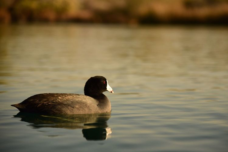 Coot Water