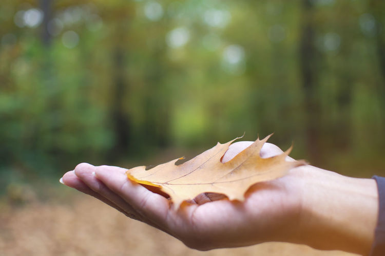 A man open one hand with brown oak fallen leaf on autumn with bokeh and blurred forest background, Germany, Europe Holding One Person Human Hand Hand Lifestyles Nature Finger Outdoors Leaves Human Finger Plant Part Body Part Day Oar Fallen Tree Autumn Forest Brown Male Bokeh Blurred Europe