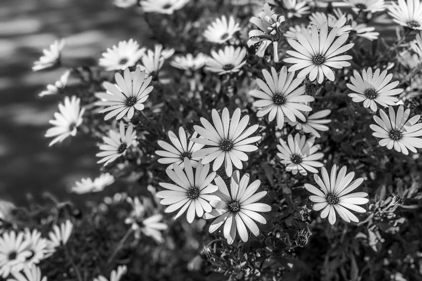 The daisies Light And Shadow Monochrome Black And White Flowering Plant Flower Freshness Plant Growth Beauty In Nature Fragility Petal Flower Head Nature White Color High Angle View Field