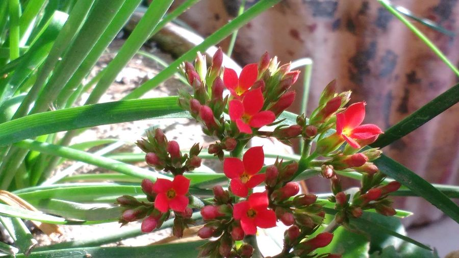 Flowers.. Red Flowers Little Flowers Red Shot_on_moto_g3 Flower Pot in Nellore , Andhra Pradesh , India