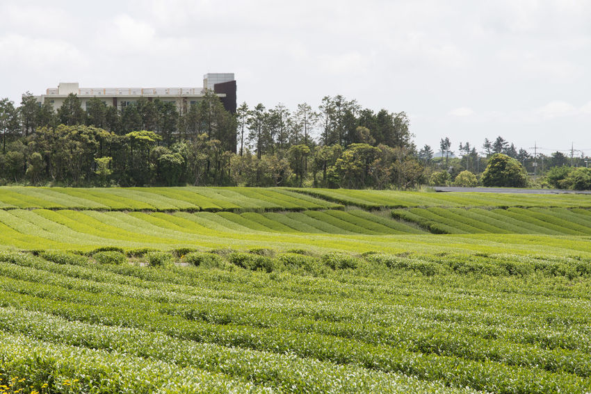 landscape of green tea field at Osulloc in Jeju Island, South Korea Architecture Beauty In Nature Built Structure Cloud - Sky Day Field Grass Green Color Green Tea Field Growth JEJU ISLAND  Landscape Nature No People Osulloc Outdoors Scenics Sky Tranquil Scene Tree