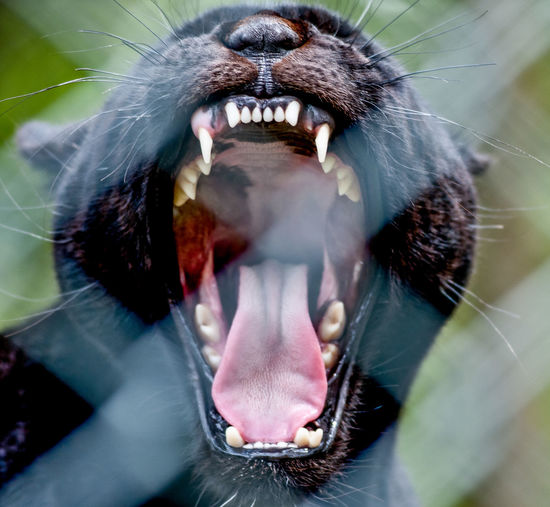 Animal Mouth Mouth Open Animal Themes One Animal Mammal Animal Teeth Anger Close-up Animal Body Part Animal Wildlife Vertebrate No People Yawning Aggression  Domestic Animals Pets Negative Emotion Day Animal Mouth Animal Tongue Snarling Animal Head  Whisker