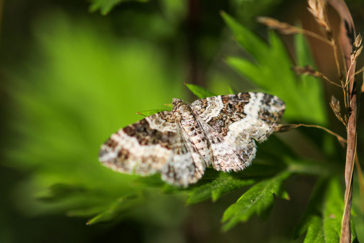 Common carpet moth, butterfly epirrhoe alternata on green leaf