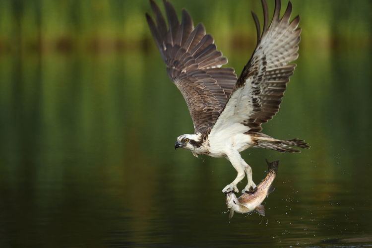 Bird holding prey while flying over lake