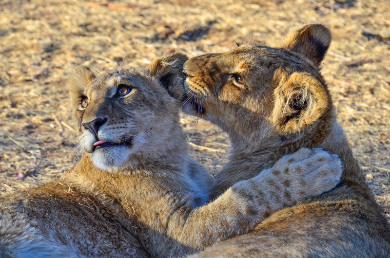 Best friends Apex Predator Close-up Color Palette Cub Feline Lion Lioness Mammal No People Outdoors Predator Threatened Species Two Two Animals Two Is Better Than One Zoology Wildlife Wildlife Photography Wild Animal Animals
