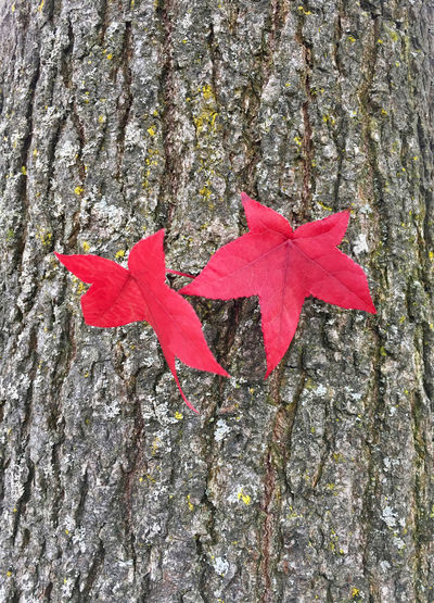 Close-up of red maple leaf on tree trunk